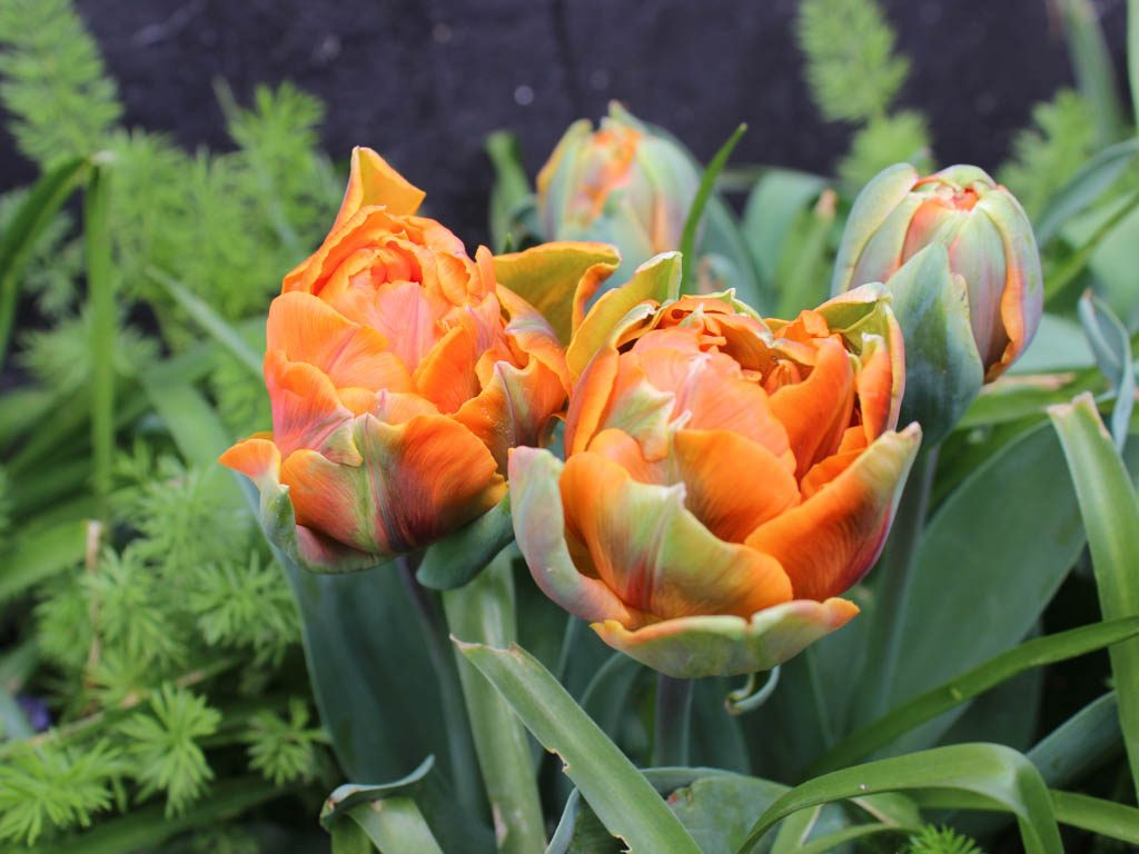 Tulipan orange Princess